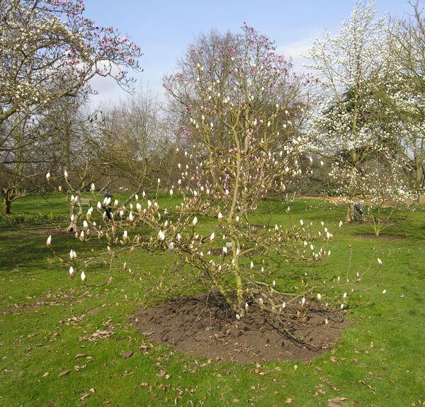 Magnolia sprengeri Pamp. var. diva (Stapf ex Dandy) Stapf