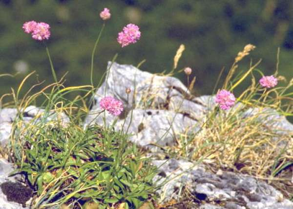 Armeria gussonei Boiss.