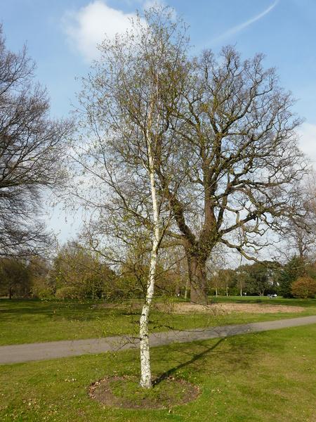 Betula szechuanica (C. K. Schneid.) C.-A. Jansson