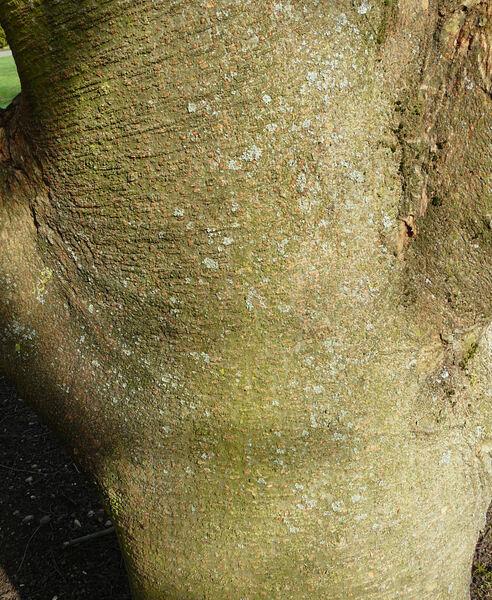 Zelkova abelicea (Lam.) Boiss.