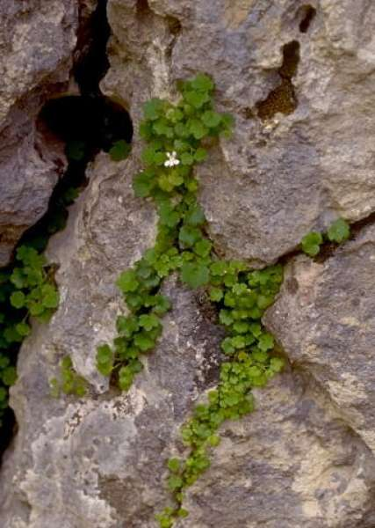 Cymbalaria pubescens (C.Presl) Cufod.