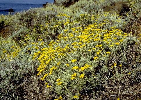 Helichrysum errerae Tineo