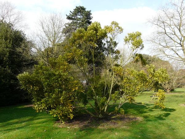 Lithocarpus edulis (Makino) Nakai