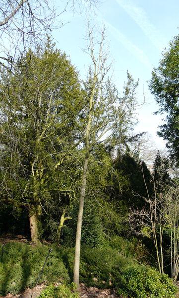 Quercus frainetto Ten.
