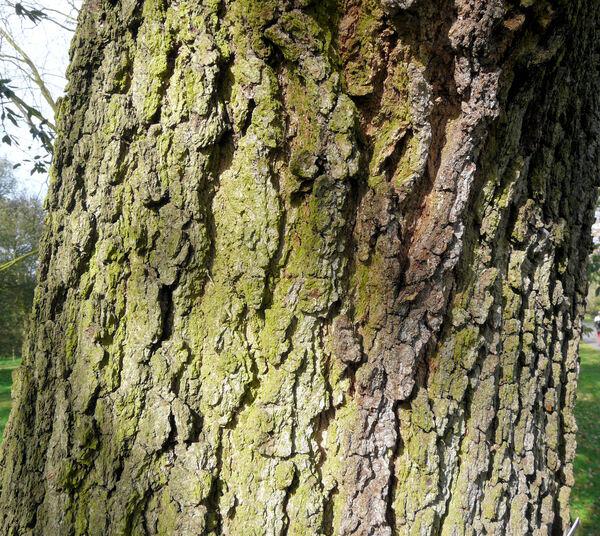 Quercus canariensis Willd.