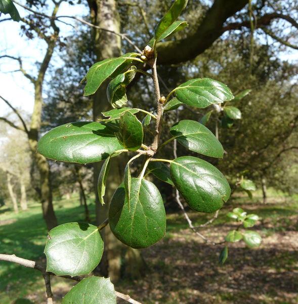 Quercus agrifolia Née