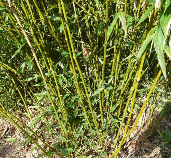Phyllostachys bissetii McClure