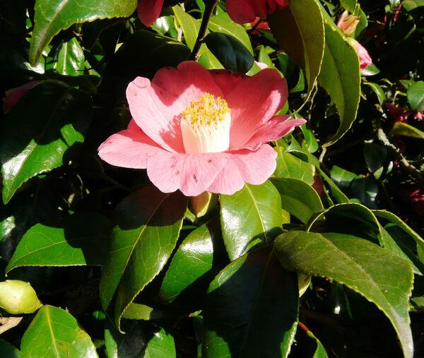 Camellia japonica L. 'Prosper Vial'