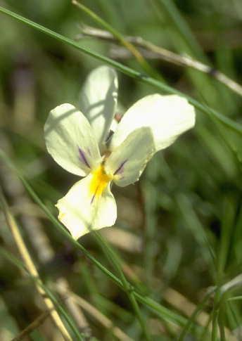 Viola aethnensis (Ging. & DC.) Strobl subsp. aethnensis