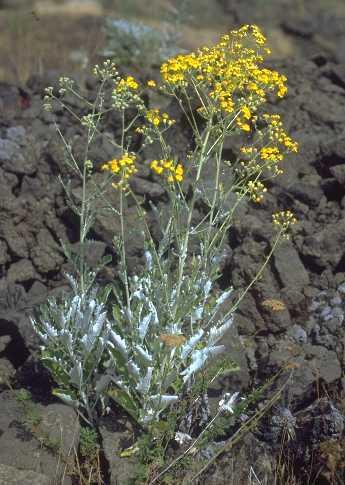 Jacobaea ambigua (Biv.) Pelser & Veldkamp subsp. ambigua