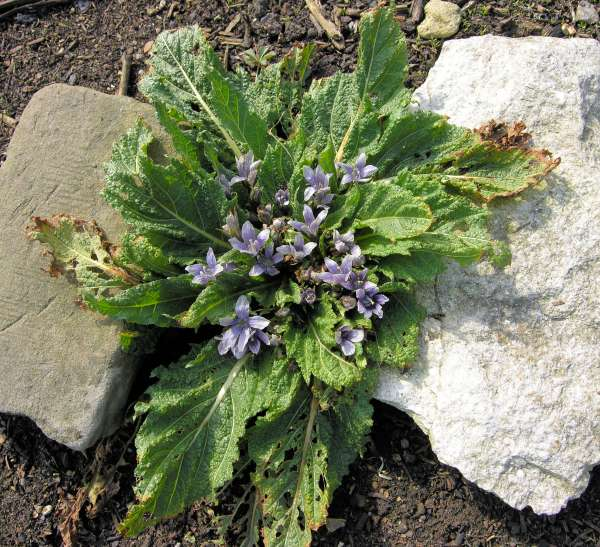 Mandragora officinarum L.