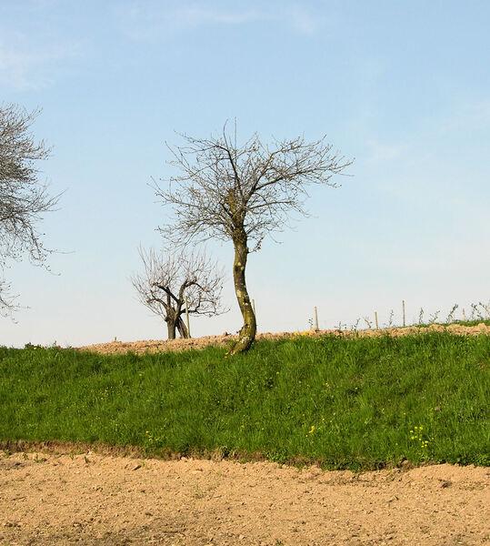 Prunus cerasus L.
