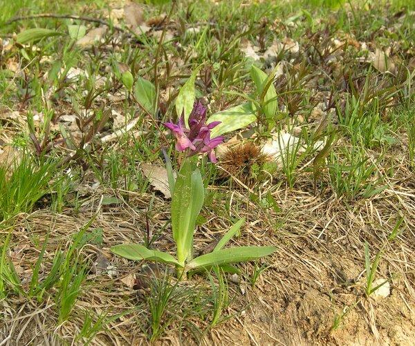 Dactylorhiza sambucina (L.) Soó