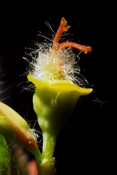 Euphorbia corallioides L.