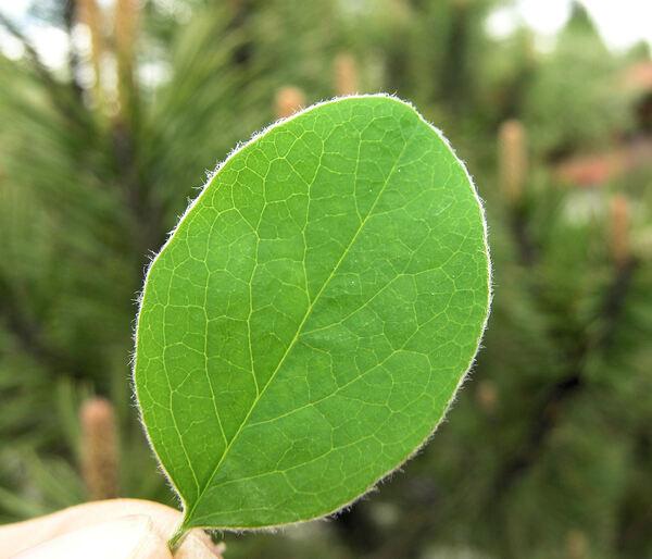 Cotoneaster tomentosus (Aiton) Lindl.