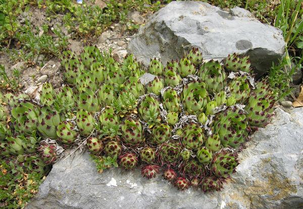 Sempervivum calcareum Jord.