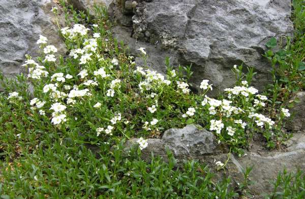 Arabis scopoliana Boiss.