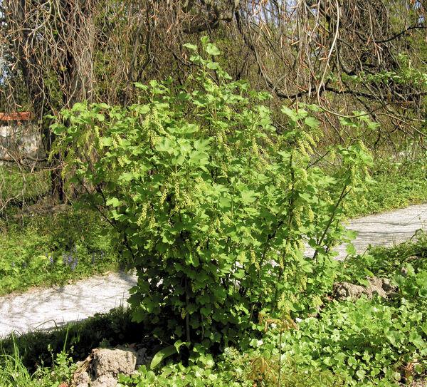 Ribes sylvestre (Lam.) Mert. & W. D. J. Koch