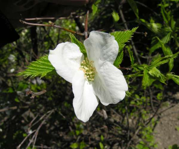 Rhodotypos scandens (Thunb.) Makino