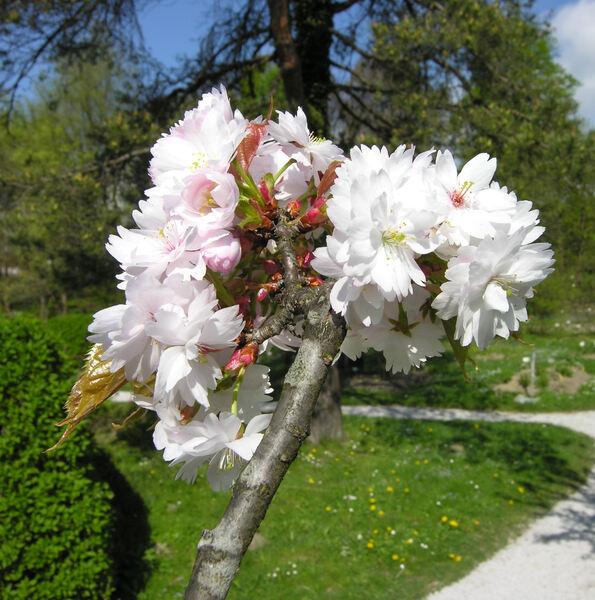 Prunus verecunda (Koidz.) Koehne