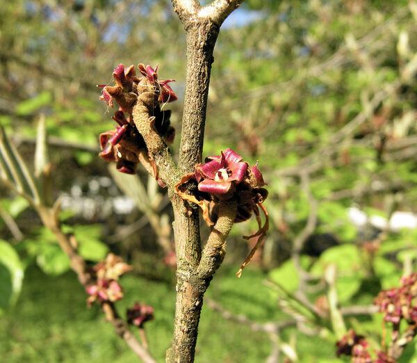 Hamamelis mollis Oliv.