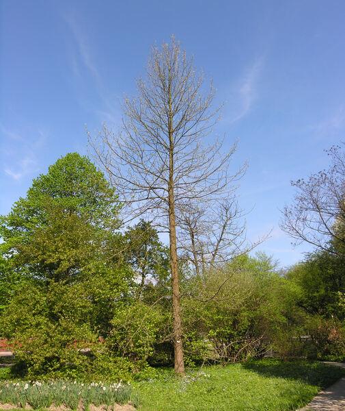 Magnolia acuminata (L.) L.