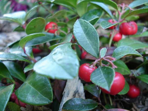 Gaultheria procumbens L.