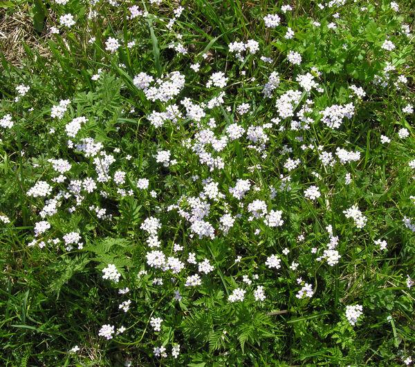 Arabidopsis halleri (L.) O'Kane & Al-Shehbaz subsp. ovirensis (Wulfen) O'Kane & Al-Shehbaz