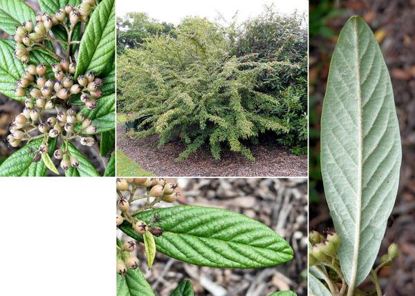 Cotoneaster henryanus (C. K. Schneid.) Rehder & E.H. Wilson