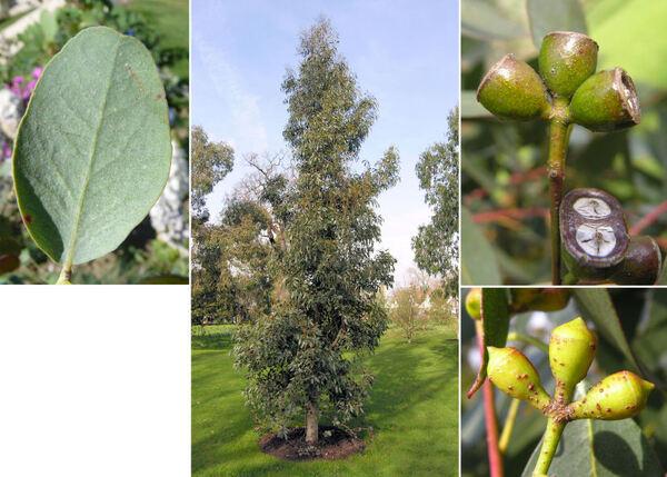 Eucalyptus gunnii Hook. f.