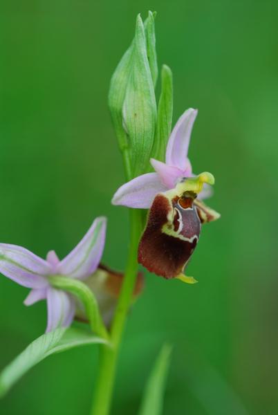 Ophrys apulica (O.Danesch & E.Danesch) O.Danesch & E.Danesch