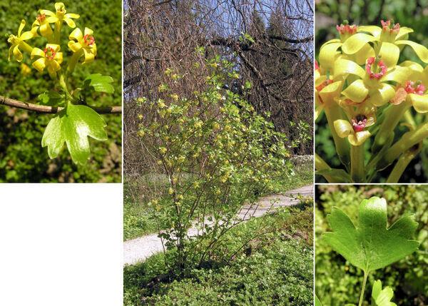 Ribes odoratum Wendl.