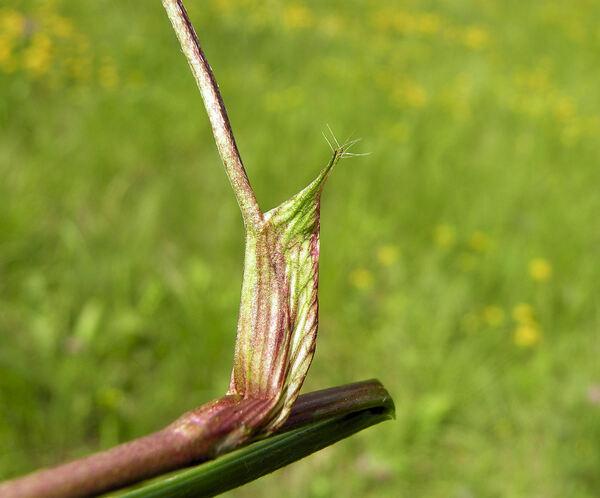 Trifolium pratense L. subsp. pratense