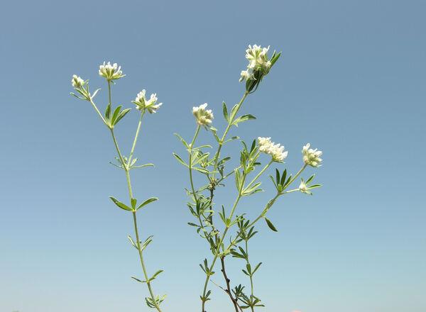 Lotus herbaceus (Vill.) Jauzein