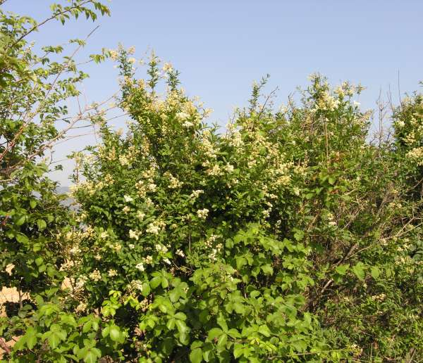 Ligustrum vulgare L.