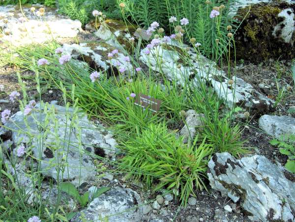 Armeria gracilis Ten. subsp. gracilis