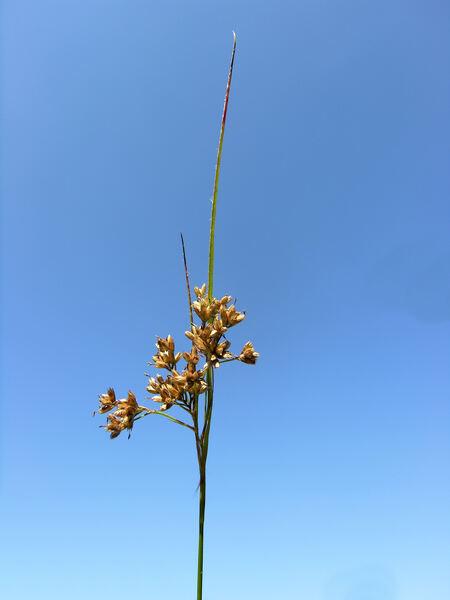 Luzula luzuloides (Lam.) Dandy & Wilmott subsp. luzuloides
