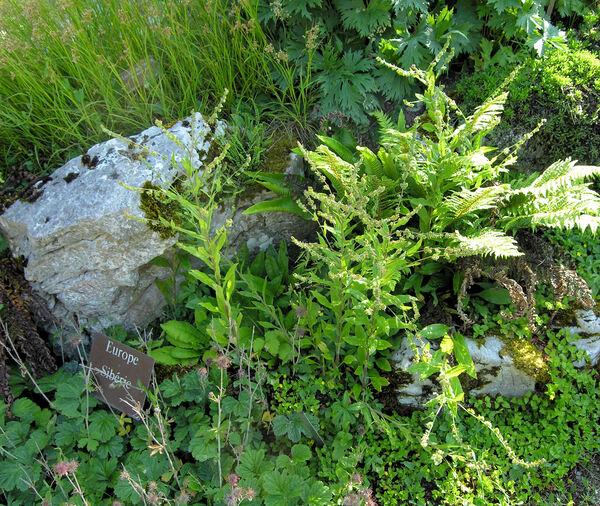 Cynoglossum germanicum Jacq.