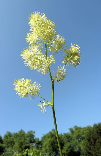 Thalictrum lucidum L.