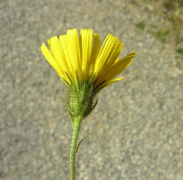 Hieracium amplexicaule L.