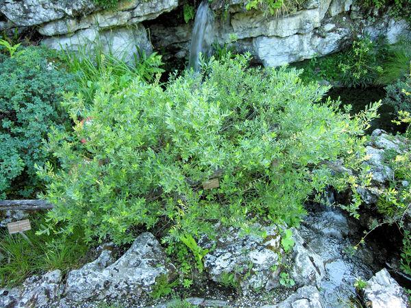 Salix repens L. subsp. repens
