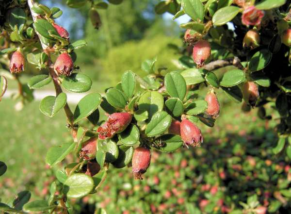 Cotoneaster microphyllus Wall. ex Lindl.