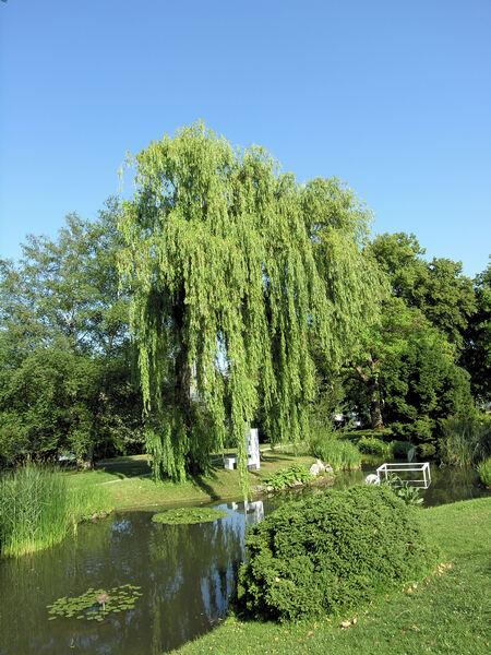 Salix ×pendulina Wender.