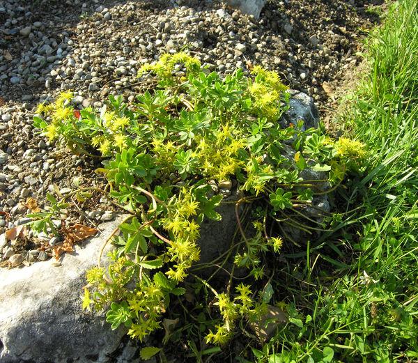 Sedum hybridum L.