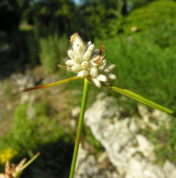Carex baldensis L.