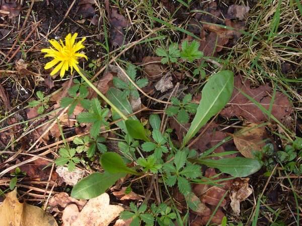 Taraxacum sect. Palustria (H.Lindb.) Dahlst.