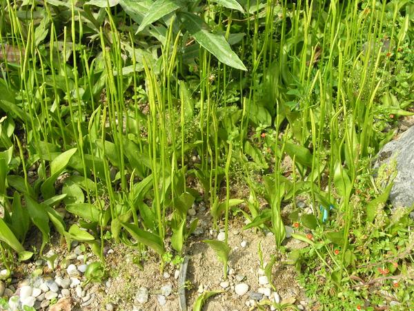 Ophioglossum vulgatum L.