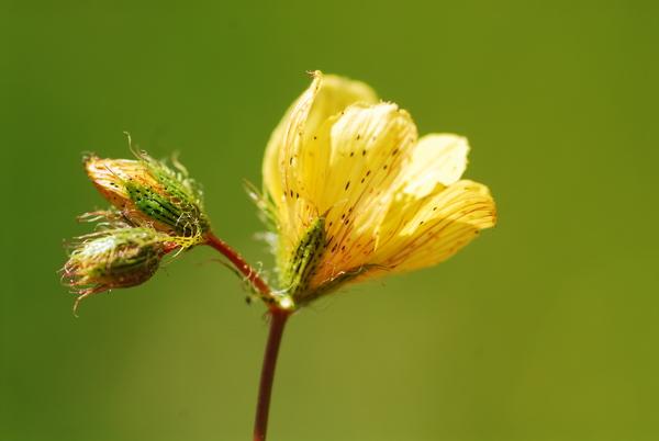 Hypericum barbatum Jacq. subsp. calabricum (Spreng.) Peruzzi & N.G.Passal.