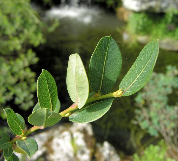 Salix caesia Vill.