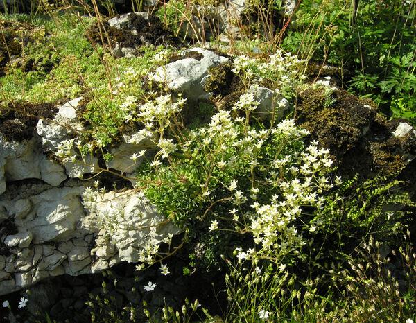 Saxifraga paniculata Mill.